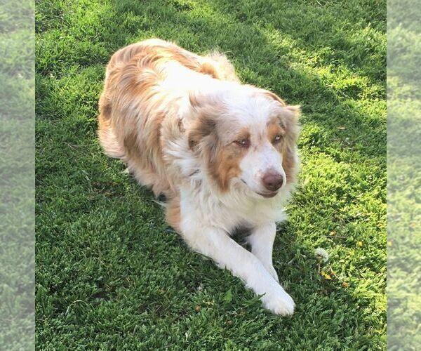 Medium Photo #1 Australian Shepherd Puppy For Sale in HAVEN, KS, USA