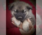 Small Photo #2 Norwegian Elkhound Puppy For Sale in CHATFIELD, MN, USA