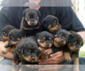 Rottweiler Dogs for adoption in BRADLEY INTERNATIONAL, CA, USA
