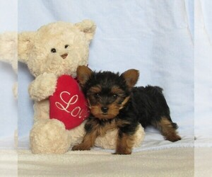 Yorkshire Terrier Puppy for sale in LEBANON, PA, USA