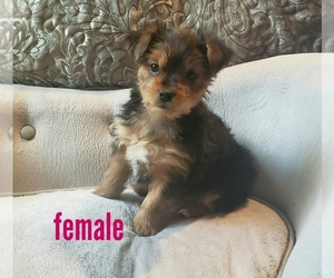 Yorkshire Terrier Puppy for Sale in RENO, Nevada USA