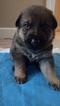 German Shepherd Dog Puppy For Sale in JOHNS ISLAND, SC