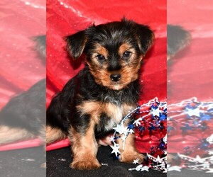 Yorkshire Terrier Puppy for sale in ROCK VALLEY, IA, USA