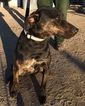 Doberman Pinscher-Unknown Mix Dog For Adoption in Carson City, NV