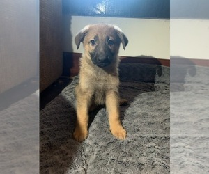 German Shepherd Dog Puppy for sale in GRAND LEDGE, MI, USA