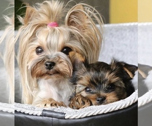 Yorkshire Terrier Puppy for sale in RANCHO CALIFORNIA, CA, USA