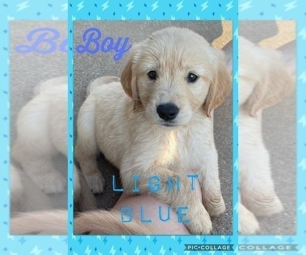 Medium Photo #1 Golden Retriever Puppy For Sale in TEMPLE, TX, USA