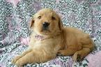 Golden Retriever Puppy For Sale near 17602, Lancaster, PA, USA