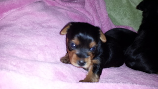 Yorkshire Terrier Puppy For Sale in GIG HARBOR, WA