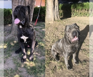 Cane Corso Puppy for sale in SAN JOSE, CA, USA