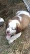 Saint Bernard Puppy For Sale in BATTLE GROUND, WA,