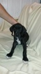 Great Dane Puppy For Sale in FRANKFORD, DE, USA