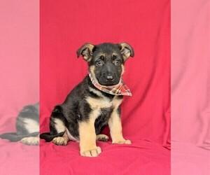 German Shepherd Dog Puppy for sale in KIRKWOOD, PA, USA