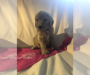 Goldendoodle Puppy for sale in PALM COAST, FL, USA