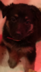 German Shepherd Dog Puppy For Sale near 48111, Belleville, MI, USA