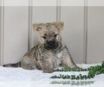Small Photo #1 Cairn Terrier Puppy For Sale in FREDERICKSBG, OH, USA