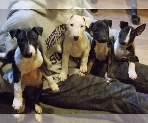 Bull Terrier Puppy for Sale in CHESAPEAKE, Virginia USA