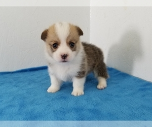 Pembroke Welsh Corgi Puppy for Sale in CLARK, Missouri USA