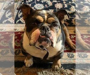 Father of the English Bulldog puppies born on 07/21/2021