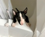 Puppy 3 Miniature Bull Terrier