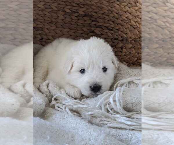 Medium Photo #36 Great Pyrenees Puppy For Sale in FALCON, CO, USA