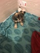 Schnauzer (Miniature) Puppy For Sale in ALEXANDER, NC, USA