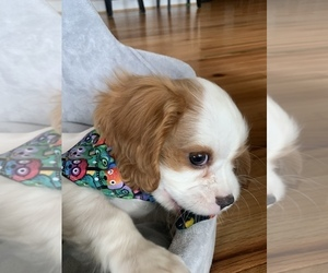 Cavalier King Charles Spaniel Puppy for sale in FISHERSVILLE, VA, USA
