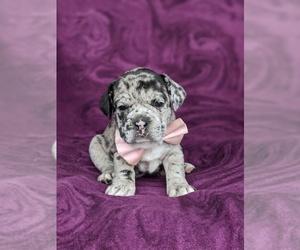 French Bulldog Puppy for sale in PEACH BOTTOM, PA, USA
