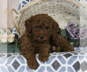 Poodle (Miniature) Puppy for sale in NARVON, PA, USA