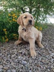 Golden Retriever Puppy For Sale in TUCSON, AZ