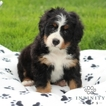 Bernese Mountain Dog Puppy For Sale in GAP, PA