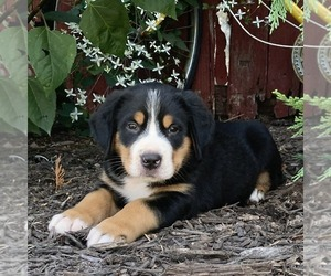 Greater Swiss Mountain Dog Puppy for sale in MILLERSBURG, PA, USA
