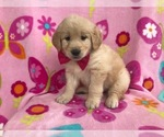 Marigold the AKC Golden Retriever
