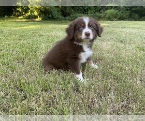 Australian Shepherd Puppy for Sale in EUFAULA, Oklahoma USA