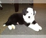 Puppy 5 Bearded Collie