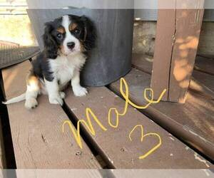 Cavalier King Charles Spaniel Puppy for sale in IRVING, TX, USA