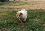 Chow Chow Puppy For Sale in MACON, GA,