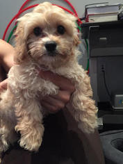 Cavachon Puppy For Sale in NEW YORK, NY