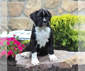 Boxer Puppy for sale in BIRD IN HAND, PA, USA