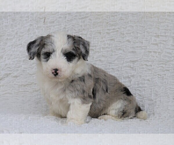 Medium Photo #2 Old English Sheepdog-Poodle (Miniature) Mix Puppy For Sale in FREDERICKSBG, OH, USA