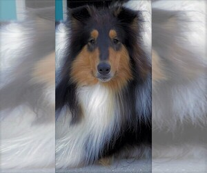 Collie Puppy for sale in SARASOTA, FL, USA