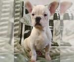 French Bulldog Puppy For Sale near 76131, Blue Mound, TX, USA