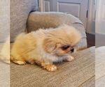 Puppy 4 Pekingese