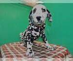 Small #4 Dalmatian