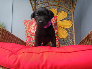 Labrador Retriever Puppy For Sale in EATONVILLE, WA