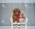 Small #13 Poodle (Toy)