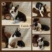 Caleb AKC Male Boston Terrier
