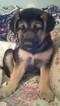 Puppy 3 German Shepherd Dog-Unknown Mix