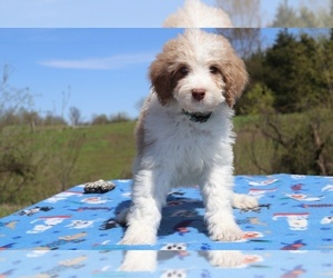 Aussiedoodle Dog for Adoption in UNION CITY, Tennessee USA