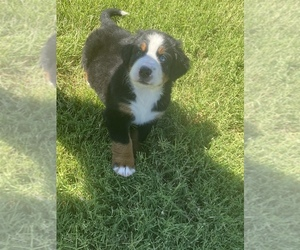 Bernese Mountain Dog Puppy for sale in ALTUS, OK, USA